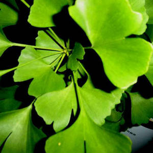 Ginkgo biloba side effects