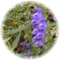 skullcap side effects