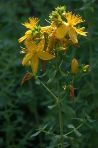 st johns wort dosage