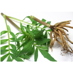 valerian root dosage